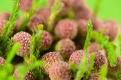 Beaux proteus fleurissent sur le fond vert clair, FO sélectives Photographie stock
