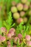 Beaux proteus fleurissent sur le fond vert clair, FO sélectives Photo libre de droits