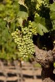 Beaux raisins de cuve mûrs pour la récolte Images libres de droits