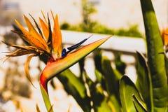 Beaux reginae tropicaux de Strelitzia de fleur comme un oiseau images libres de droits