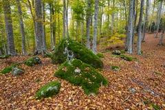 Beaux rochers couverts de mousse dans la forêt de hêtre d'automne Photos stock