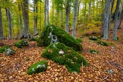 Beaux rochers couverts de mousse dans la forêt de hêtre d'automne Images libres de droits