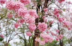 Beaux rosea de Tabebuia ou arbres de trompette fleurissant au printemps saison Fleur rose en parc photos libres de droits