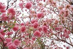 Beaux rosea de Tabebuia ou arbres de trompette fleurissant au printemps saison Fleur rose en parc photographie stock