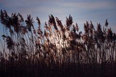 Beaux roseaux d'herbe Photographie stock