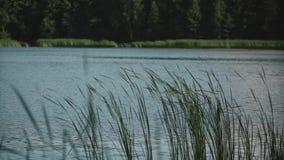 Beaux roseaux verts balançant dans le vent Lac dans la forêt banque de vidéos