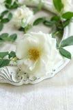 Beaux roses blanches, cadres de vintage et fond de velours Image libre de droits