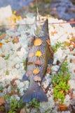 Beaux saumons d'automne Photo libre de droits