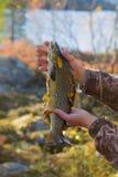 Beaux saumons d'automne Image stock