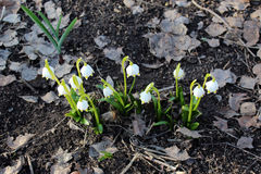 Beaux snowdrops Photo libre de droits