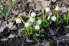 Beaux snowdrops Photo stock