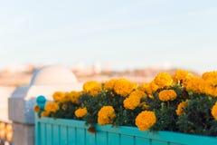 Beaux soucis oranges en parc, sur la rue ou dans le jardin Fleur de fleurs en automne et été photos libres de droits