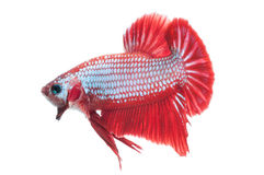 Beaux splendens de betta d'isolement sur le fond blanc Images libres de droits