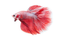 Beaux splendens de betta d'isolement sur le fond blanc Photo libre de droits