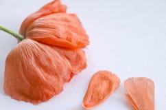 Beaux tête et pétales de fleur de corail simples de pavot Fleur lumineuse de pavot Fermez-vous de la fleur sensible pour votre co Photographie stock libre de droits