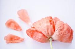 Beaux tête et pétales de fleur de corail simples de pavot Fleur lumineuse de pavot Fermez-vous de la fleur sensible pour votre co Photos libres de droits