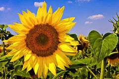 Beaux tournesols photos stock