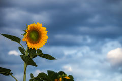 Beaux tournesols Photo libre de droits