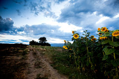 Beaux tournesols Photos libres de droits