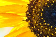 Beaux tournesols avec le ciel bleu Image libre de droits