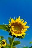 Beaux tournesols avec le ciel bleu Images stock
