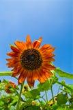 Beaux tournesols avec le ciel bleu Photographie stock
