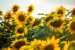Beaux tournesols d'or Photo stock