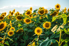 Beaux tournesols d'or Images stock