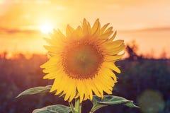Beaux tournesols dans le fond naturel de champ, floraison de tournesol images libres de droits