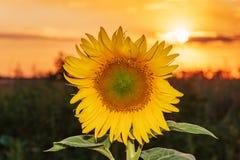 Beaux tournesols dans le fond naturel de champ, floraison de tournesol photographie stock