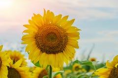 Beaux tournesols dans le fond naturel de champ, floraison de tournesol images stock