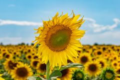 Beaux tournesols dans le fond naturel de champ, tournesol photo stock