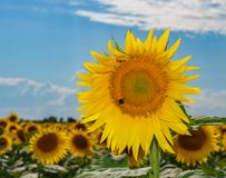 Beaux tournesols dans le fond naturel de champ, tournesol images libres de droits