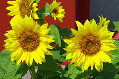 Beaux tournesols vibrants Photo libre de droits