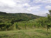Beaux vignobles situés dans le secteur de timorasso dans Piémont photo stock