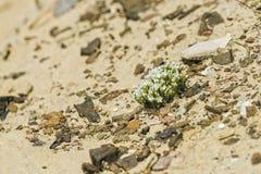 Beaux Wildflowers blancs minuscules sur Rocky Slope image libre de droits