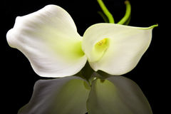 Beaux zantedeschias blancs photographie stock