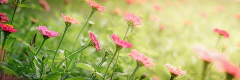 Beaux Zinnias de floraison image libre de droits