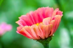 Beaux Zinnias de floraison photos stock
