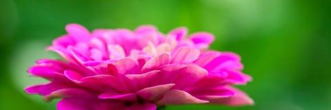 Beaux Zinnias de floraison photos libres de droits