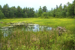 Beaver ложа в болоте на белом мемориале, Litchfield, Коннектикуте стоковое изображение rf