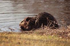 beaver чанадец Стоковые Фото