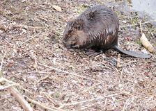Beaver. A beaver standing by the side of a pond stock image