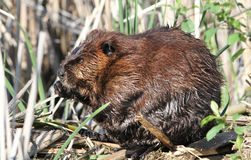 Beaver Royalty Free Stock Photography