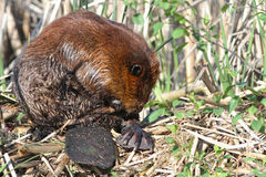 Beaver Stock Photos