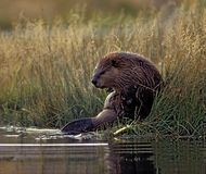 Beaver. A beaver in an unusual position in the rushes Stock Image