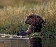beaver Obraz Stock