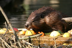 Beaver Stock Photos