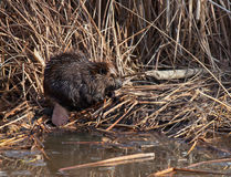 Beaver. A young beaver sitting in a marshy area at waters edge.  Natures architect Royalty Free Stock Photos