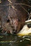 beaver Obrazy Royalty Free